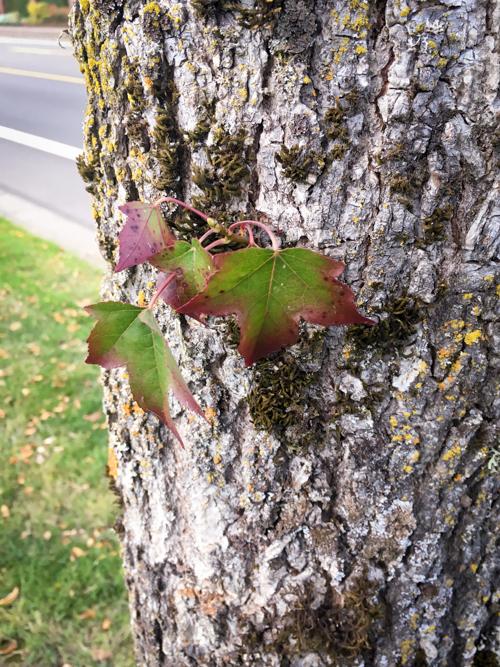 sweet-gum-tree
